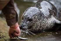 Komentované krmení tuleňů v ZOO Jihlava.
