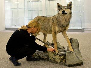 Sražený vlk z dálnice D1