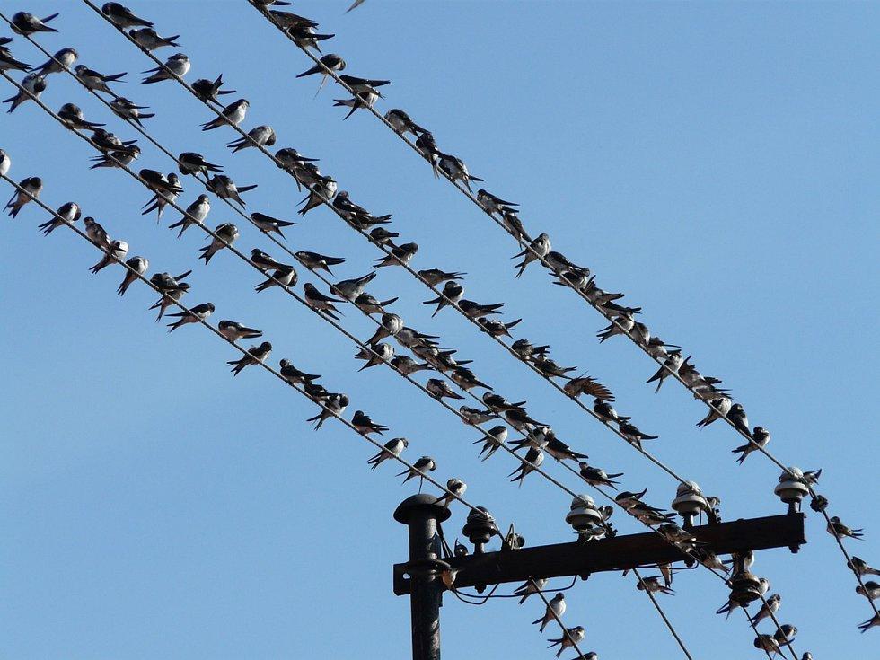 Ptákem roku 2020 je jiřička obecná.