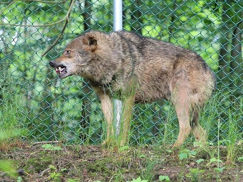 V jihlavské zoologické zahradě otevřeli expozici s vlky