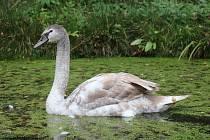 Tato labuť letos přečká zimu v Pavlově.