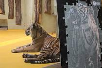 Dvacet  tisíc korun za adopci tygra nemůže dát každý. Proto Zoo Jihlava nabízí unikátní puzzle, díky kterým vyjde podpora na dvě stovky.