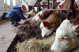 Práce v kravíně. Ilustrační foto.
