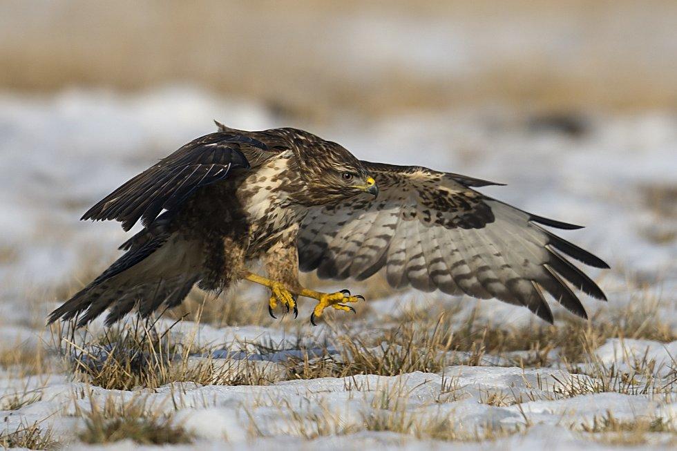 Káně lesní - lov. Foto: Radomír Šálek
