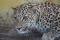 Nový levhart v Zoo Jihlava.