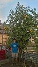 Vojtěch Caha se loni se svou 425 centimetrů vysokou slunečnicí usadil na prvním místě.