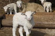 Jihlavská zoo se chlubí prvními jarními mláďátky. Během posledních týdnů se narodilo několik jehňátek.