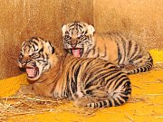 Jihlavská zoologická zahrada se raduje z velmi vzácného odchovu. Dvě mláďata tygra sumaterského se narodila 28. března 2018, tedy přesně v den, kdy jejich matka Činta oslavila svoje páté narozeniny.