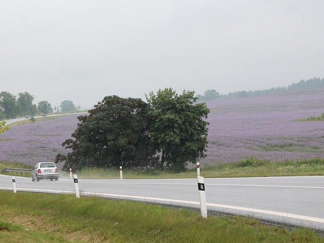 Pole s fialovými květy svazenky vratičolisté.