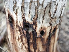 Trávení stromů není problémem pouze na Vysočině. Například v Holicích v Pardubickém kraji navýpadovce vedle zahrádkářské kolonie v únoru loňského roku pachatel navrtal po celém obvodu kmene šest mladých ořešáků. Ty následně napustil jedovatou látkou.