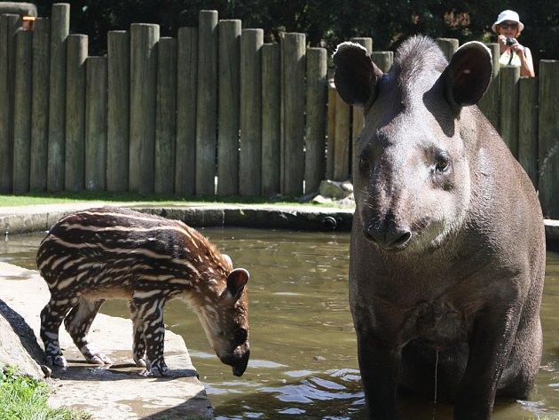 V jihlavské zoologické zahradě je nyní ve výběhu tapírů spolu se svou mámou k vidění i mládě Zuzanka. Tapíra se v Jihlavě podařilo odchovat po deseti letech.