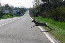Srny způsobují přebíháním silnic časté nehody. Vysočina je v počtu střetů se zvěří nad republikovým průměrem. Kraj proto začal hledat preventivní opatření.