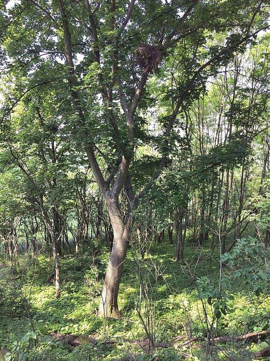 Káně lesní - hnízdo. Foto: Tomáš Bělka