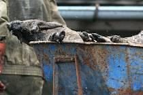 Největší případ údajného týrání zvířat na Vysočině u Polné. Zemřelo přes 200 prasat, další stovka je v kritickém stavu.
