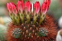 Sulcorebutia lepida. Na výstavě naleznete mnoho rozkvetlých krás. Čekají zde na vás i opravdové skvosty.