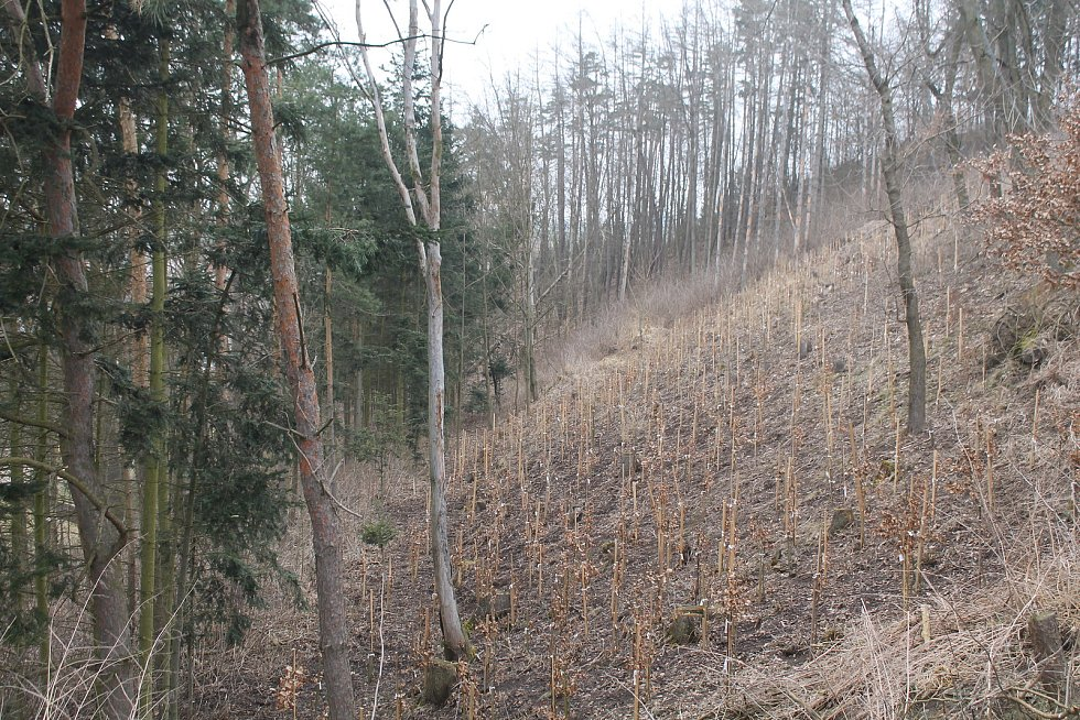 I Kamenici potrápila kůrovcová  kalamita, nyní je třeba vysázet nové stromy.