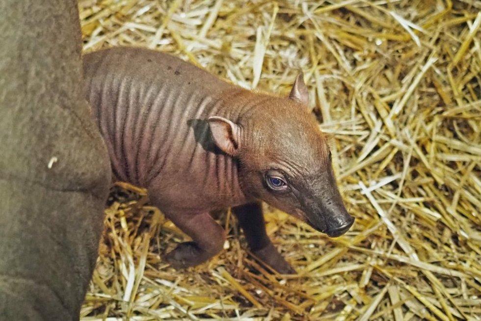 Mládě babirusy je velmi vzácné, narodilo se v březnu a už chodí i ven.