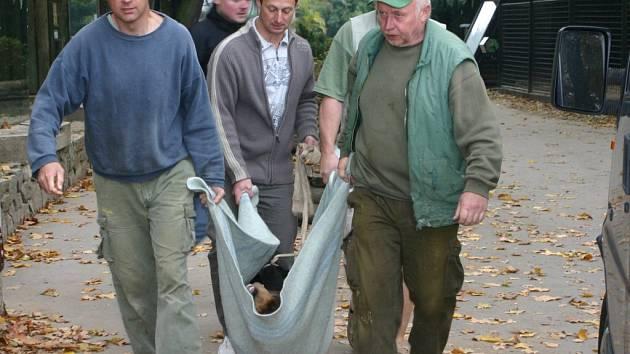Pracovníci jihlavské zoo přenášeli uspané medvědy z výběhu do přepravních beden.