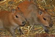 V jihoamerickém pavilonu jihlavské zoologické zahrady nyní pobíhají paterčata kapybar.