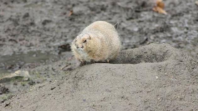 Psouni prérioví jsou přes zimu venku pouze vzácně. Letošní teplé počasí je ovšem donutilo, aby vylezli ze svých nor, ve kterých přes zimu tráví veškerý čas.
