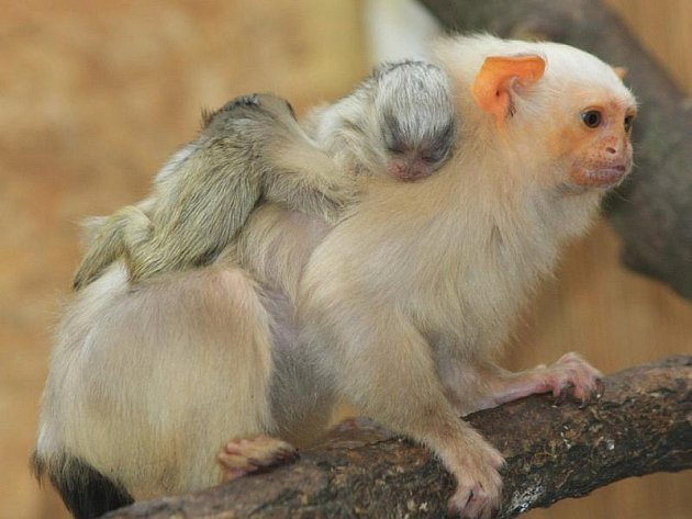 Jihlavská zoo je jedinou v republice, které se podařilo rozmnožit kosmany stříbřité.