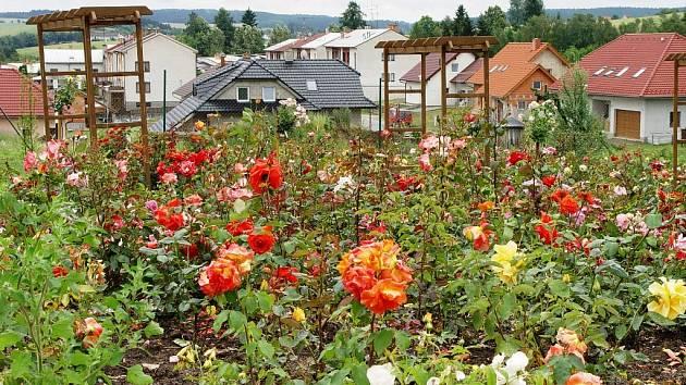 Růže v arboretu jsou rozkvetlé, poznamenala je ale čtvrteční bouřka.