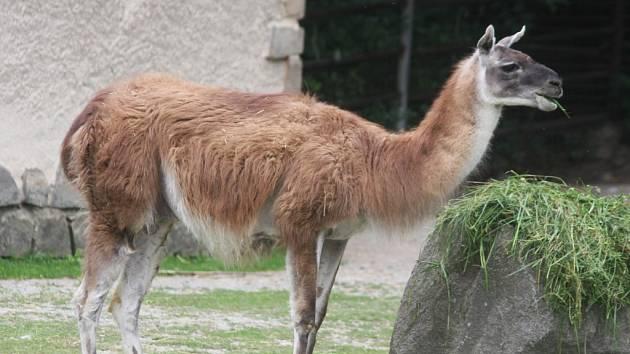 Lama Guanako