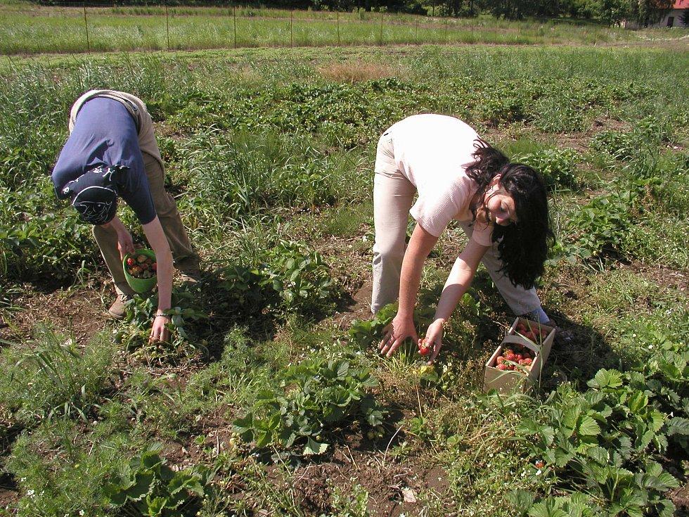 Na samosběrné jahodové plantáže mohou zájemci na Vysočině vyrazit už počátkem června.