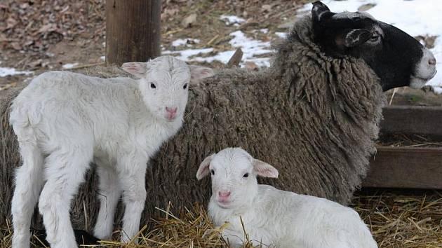 Mezi první letošní přírůstky v jihlavské zoo patří také dvě jehňata ovce romanovské.