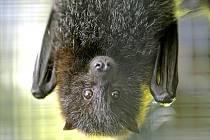 Domovem kaloně zlatého je ostrov Rodrigues v Indickém oceánu. V angličtině se mu říká létající liška.