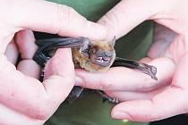 Jedním z druhů, který v pátek ochránci přírody vypouštěli, je netopýr rezavý. Ten má rezavou srst složenou z hustých jednobarevných chlupů.