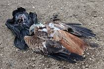 Traviči se Vysočině nevyhýbají, poslední obětí je samice orla mořského.