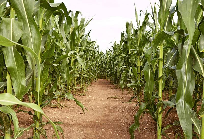 Labyrint v kukuřičném poli je také poblíž jihlavského letiště na Henčově.