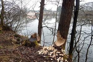 Ochranáři u Konventského rybníka napočítali několik desítek čerstvě okousaných stromů. Foto: se souhlasem Správy CHKO Žďárské vrchy