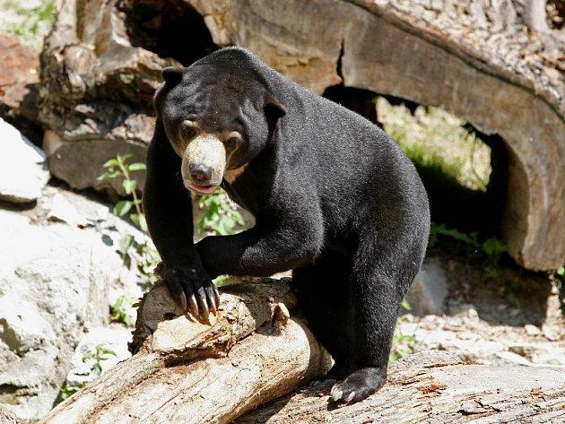 Medvěd Adam z jihlavské zoo