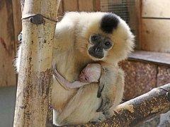 Takto malé giboní mládě vypadá. Na svět přišlo 10. března.