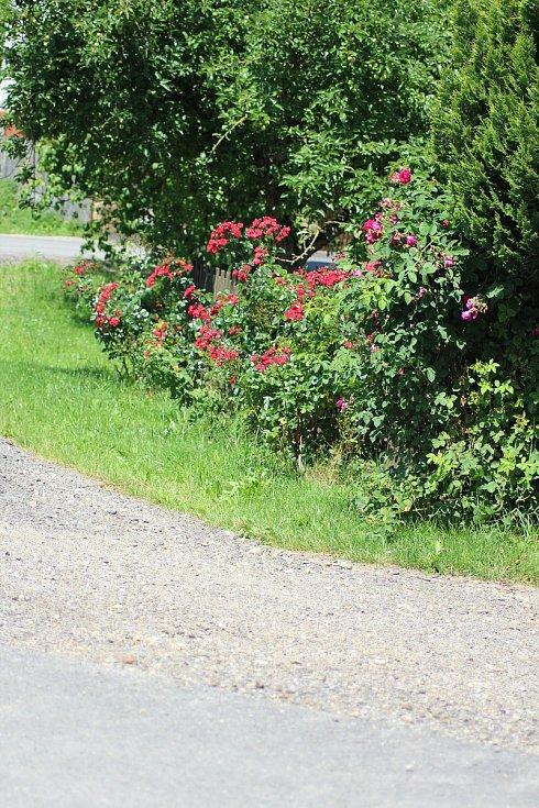 Růže u silnice.