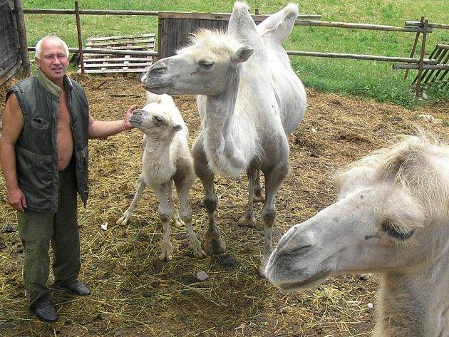 Velbloudě. Farmář Steigner na Žďársku chová u nás neobvyklá zvířata. Zaměřil se na velbloudy.