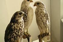 Cenná sbírka přežije. Dalbergova sbírka ptáků v Muzeu Vysočiny zahrnuje přes 500 exponátů. Na její obnovu a údržbu poskytlo finance ministerstvo kultury.