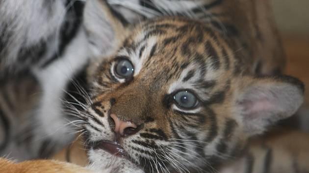 Tygřice je oblíbená mezi návštěvníky.