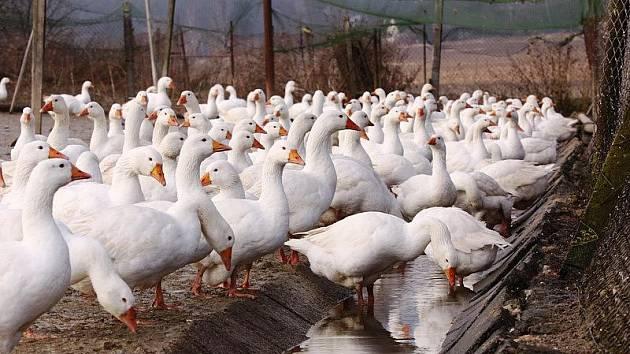 Z ohrad na husí farmě v Rohozné museli udělat majitelé jakési voliéry. K husám se totiž nesmí dostat jiný divoký pták. Mohl by je nakazit.
