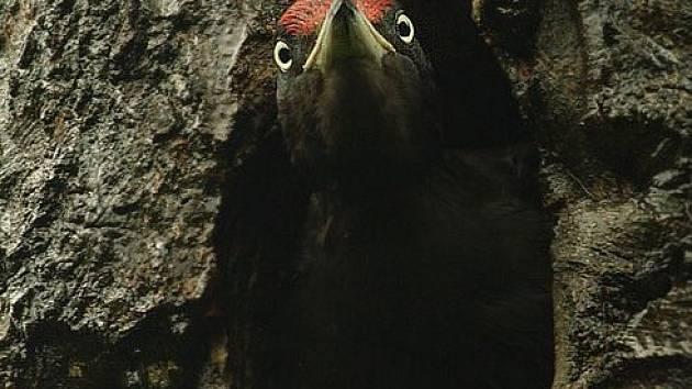 Ornitologové z Vysočiny se dohodli s vedením Lesů ČR na zachování odumřelých a doupných stromů pro hnízdění ptáků. Jejich obyvatelem je například i datel černý.