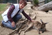 """Eliška Kubíková šéfuje jihlavské zoologické zahradě od roku 2005. Na snímku hladí klokana, zvíře, které je symbolem australského kontinentu. Expozice """"Austrálie"""" je součást velkolepého projektu Zoo pěti kontinentů."""