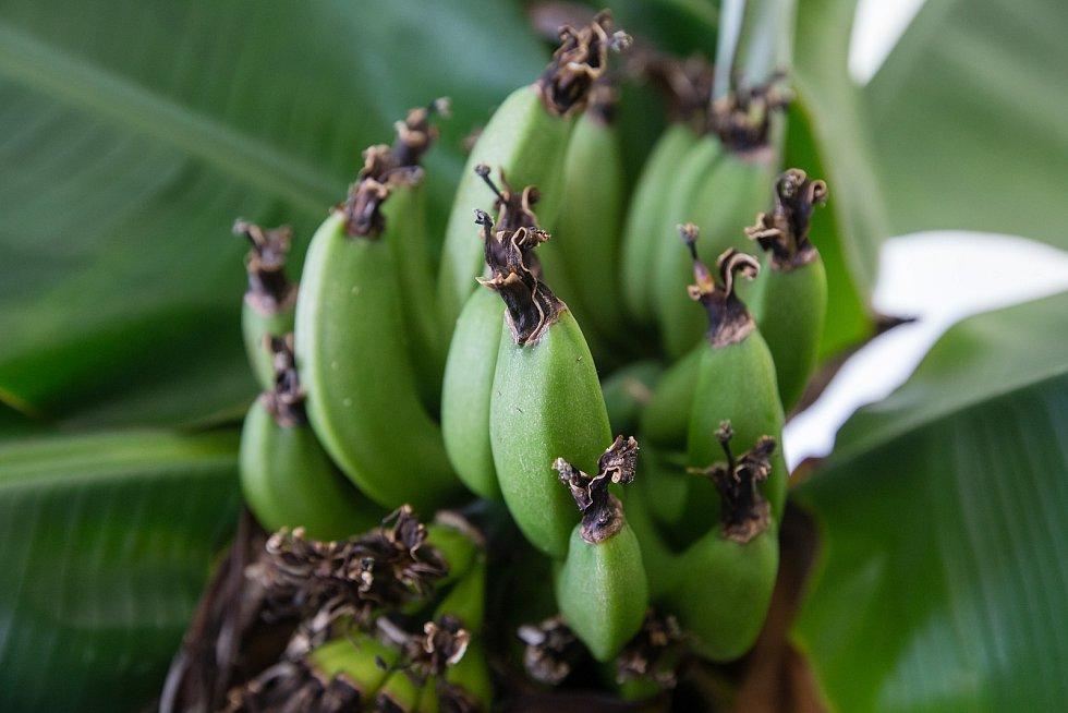 Banánovník na obecním úřadu v Dušejově.