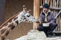 Komentované krmení žiraf v jihlavské zoo.