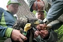 Obří paříty. Mláďatům pařáty už nevyrostou, ornitologové tak mohou kroužky utáhnout tak, jak je potřeba.