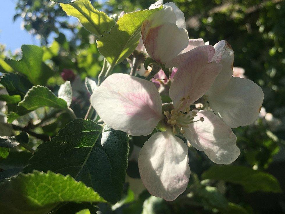 Kvetoucí stromy a louky vhání alergikům slzy do očí a ucpávají jim nosy.