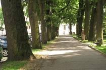 Dubová alej na Štefánikově náměstí poblíž centra města bojuje o místo mezi nejkrásnějšími.