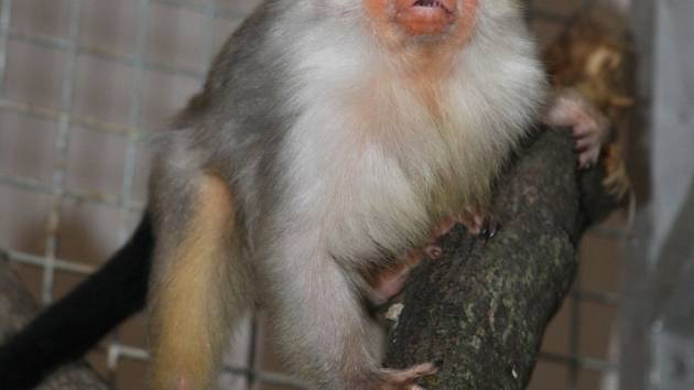Stříbřitá opice přijela z Maďarska