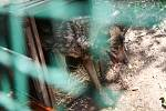 Do jihlavské zoologické zahrady se po zabezpečení výběhu vrátila dvojice vlka iberského.